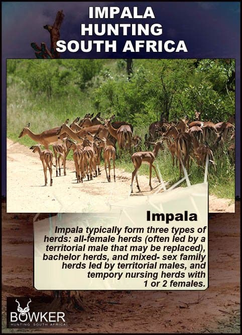 Impala typically from three types of herds.