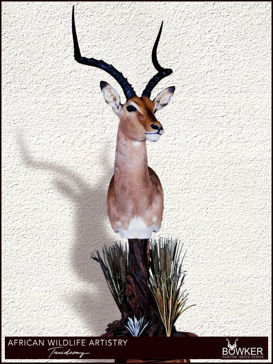 Impala floor pedestal mount. See our african taxidermy price list.