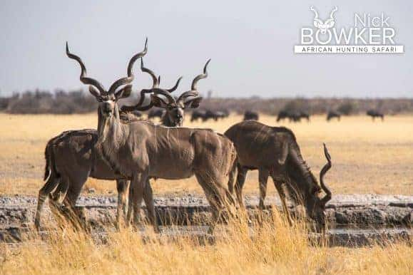 Kudu at a waterhole. Kudu are nearly always a trophy taken by a first time African hunter