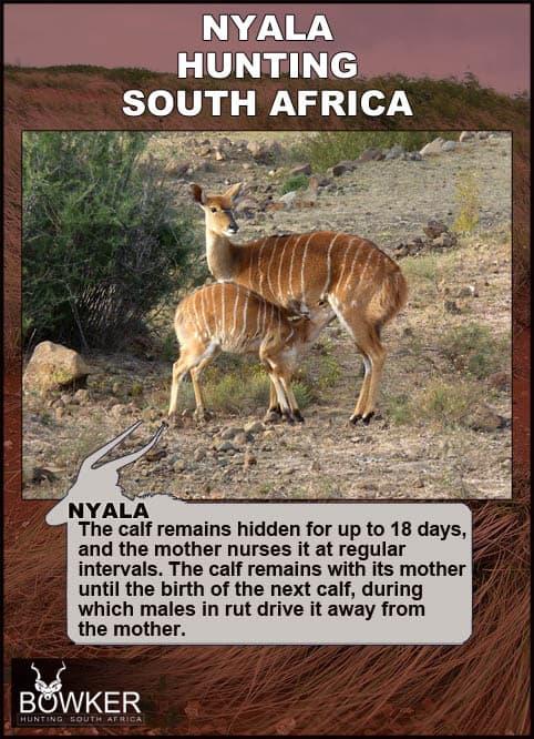 Nyala calf and cow