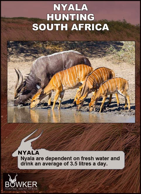 Nyala male and females drinking.