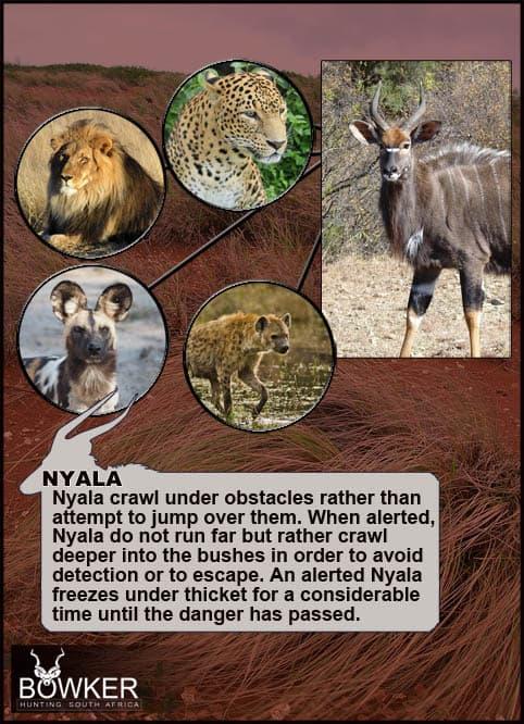 Predators of the nyala include wild dog.