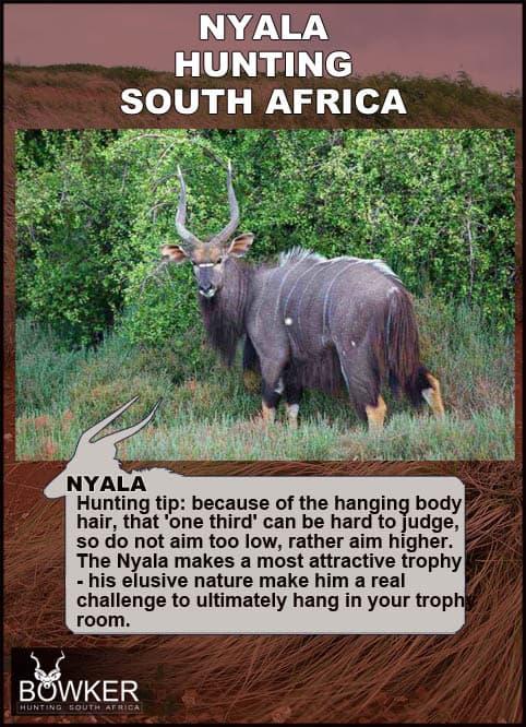 Shot placement for hunting nyala.
