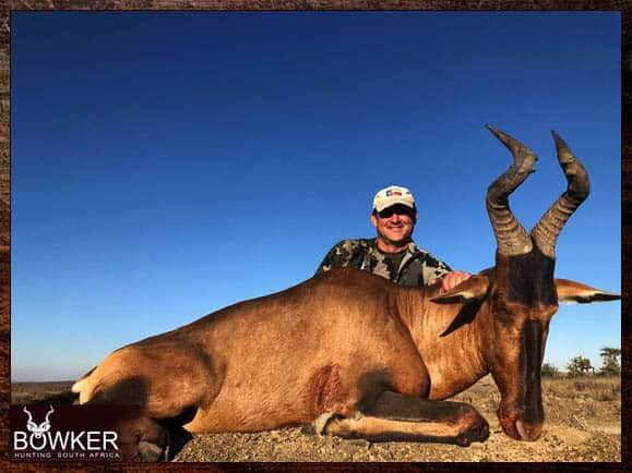 Red hartebeest hunt in South Africa
