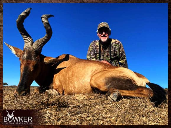 Red hartebeest trophy shot in South Africa.