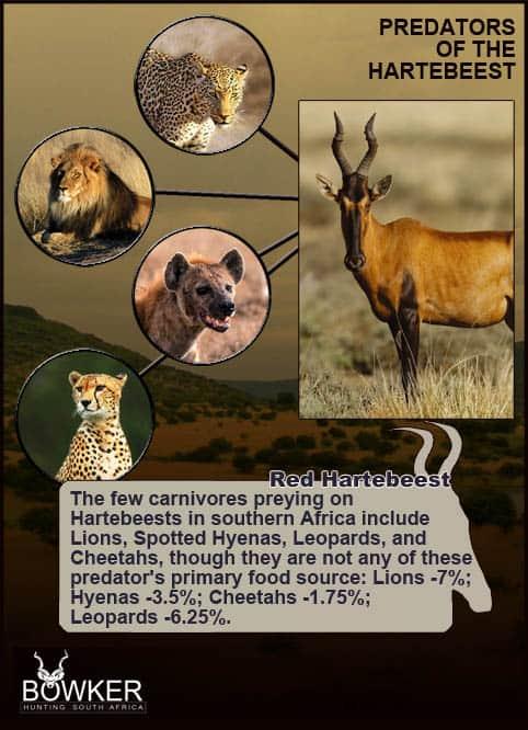 Predators that prey on Red Hartebeest.