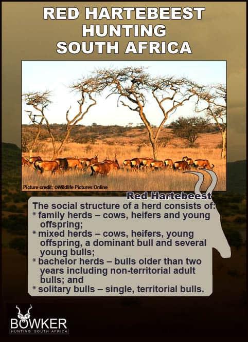 Herd feeding on the savanna. Red Hartebeest social structure