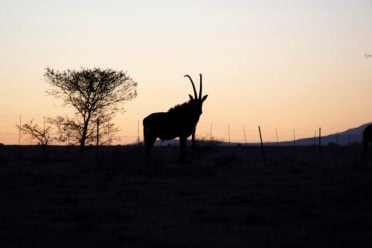 Sable antelope make great trophies on a hunt in South Africa
