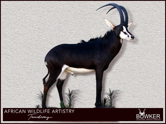 South African taxidermy prices