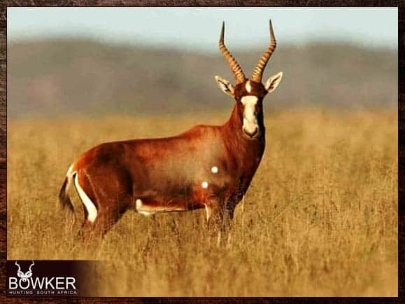 Blesbok are included in a south African plains game cull hunt.