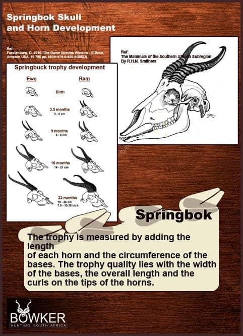 Springbok horn development over time.