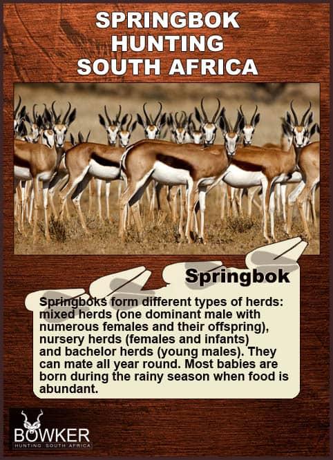 Springbok herd on the plains.