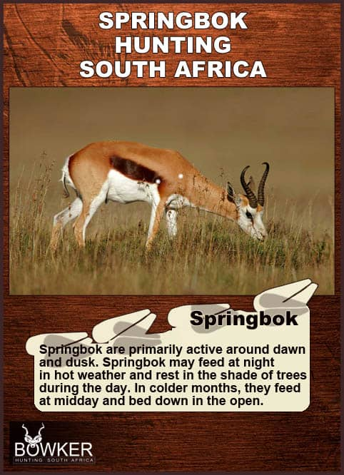 Shot placement for springbok hunting.