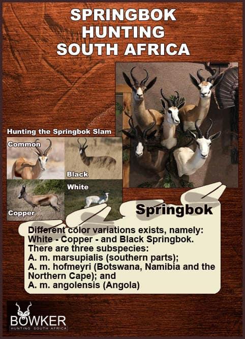 Springbok color variations. Black, white, copper and common springbok.