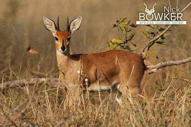 Shot placement should be on the bottom third of the shoulder for steenbok hunting.