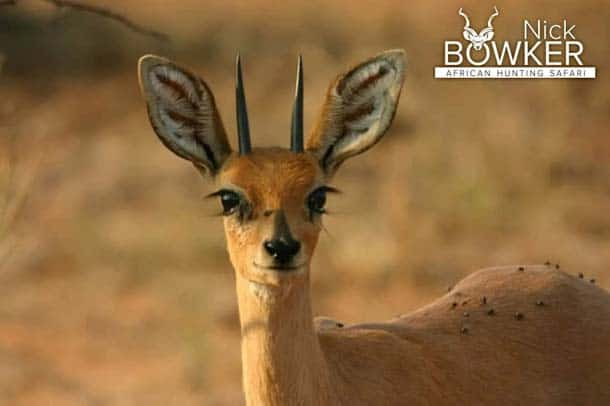 Steenbok males have horns while females do not.