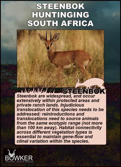 Steenbok in the plains. Steenbok species.