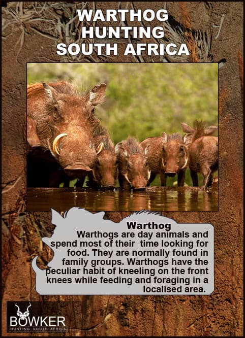 Warthogs are day animals spending most of their time feeding.