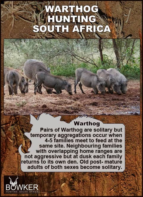 Warthog live in families