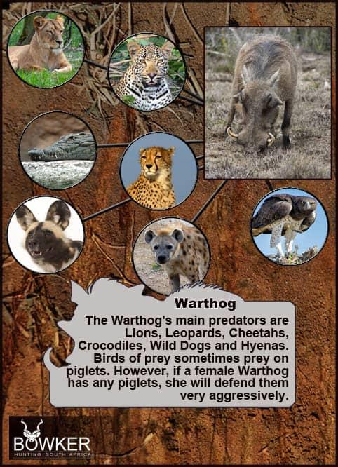 Predators include the Martial eagle.