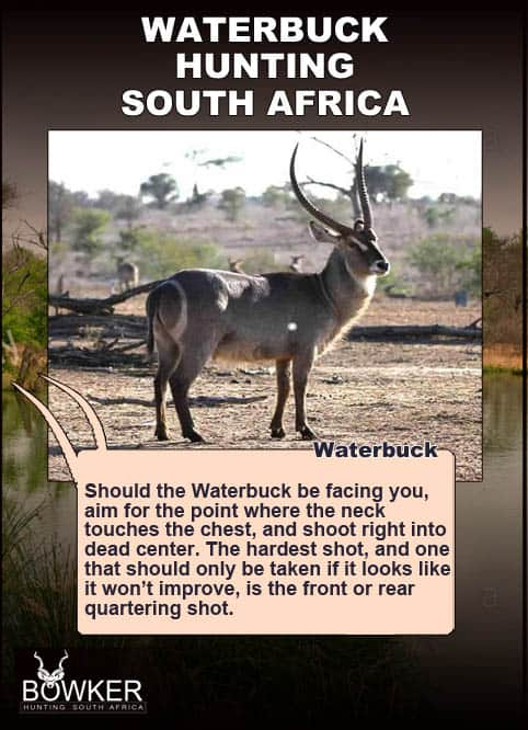 Waterbuck shot placement for hunting.