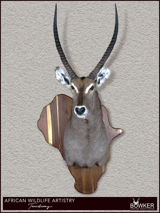 Waterbuck shield shoulder mount
