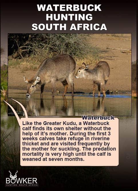 Waterbuck drinking.