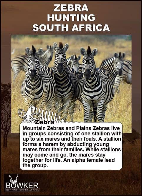 Zebra group in open grass lands. Zebra live in groups.