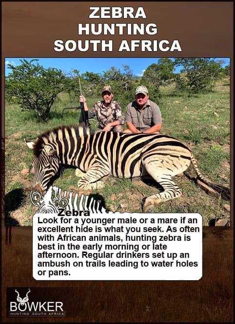 Zebra hunting in South Africa. Zebra trophy taken on a hunt.
