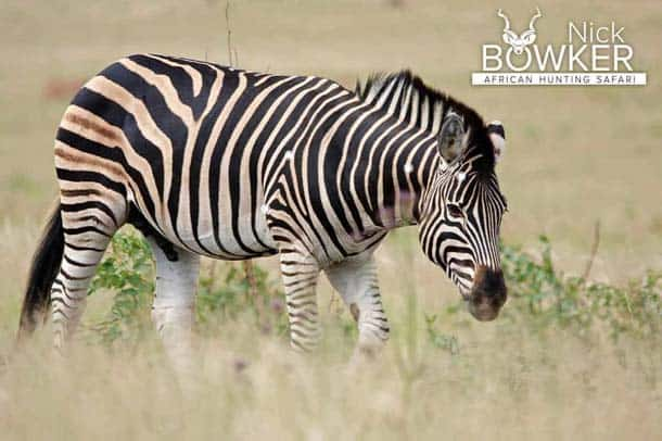 Shot placement for Zebra hunting