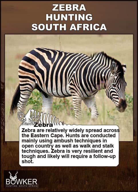 Zebra hunting techniques and shot placement.
