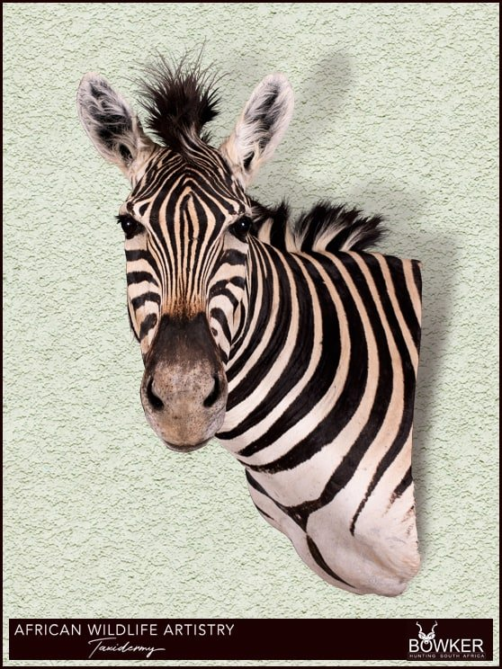 Zebra wall pedestal mount. See our african taxidermy price list.