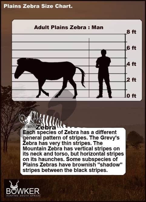 Zebra size chart relative to a human.