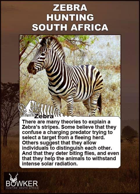Zebra under a tree. Many theories explain zebra stripes.